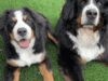 Fenway-Lola-The Berners-Who-Me