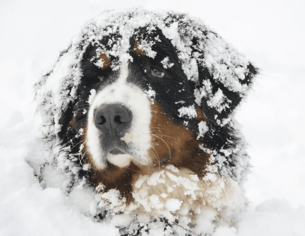 Bernese-Mountain-Dog-Head-Covered-in-the-snow