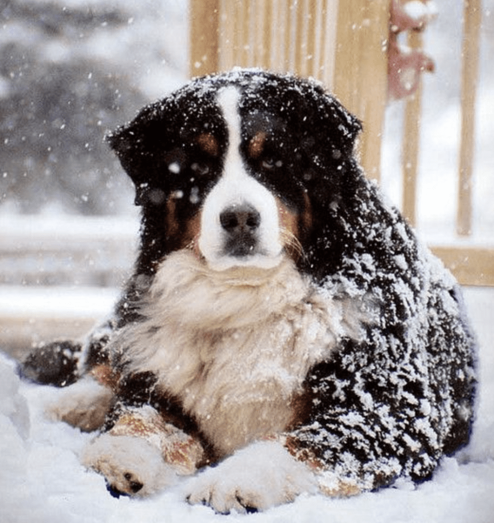 Bernese-Mountain-Dog-Laying-Down-Covered-in-the-snow
