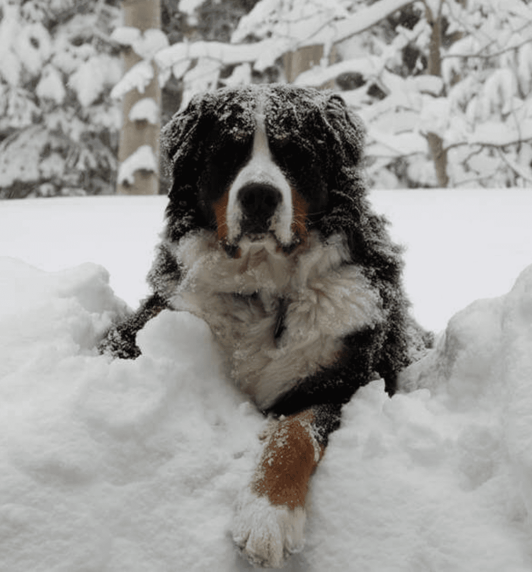 Majestic-Bernese-Mountain-Dog-Laying-in-snow