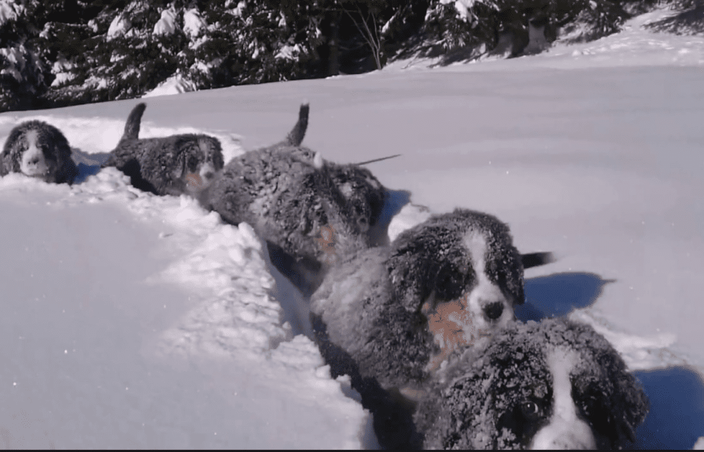 Pack-of-Bernese-Mountain-Dogs-in-the-snow