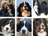Language-Of-Bernese-Mountain-Dogs